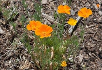 Kaldari Eschscholzia californica 01.jpg