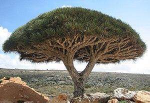شجرة دم العنقاء وتعرف أيضا باسم شجرة دم الأخوين