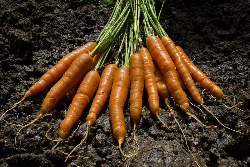 File:The garden delivers carrots.jpg