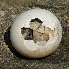 Tortoise-Hatchling.jpg