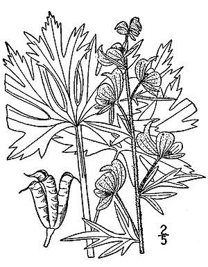 Northern Blue Monkshood (Aconitum noveboracense)