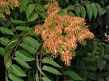 https://i2.wp.com/upload.wikimedia.org/wikipedia/commons/thumb/8/84/Ailanthus-altissima.jpg/220px-Ailanthus-altissima.jpg