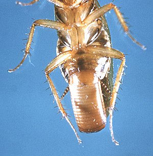 Female German Cockroach with ootheca.