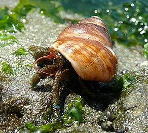 Blue-Banded Hermit Crab (Pagurus samuelis) spo...