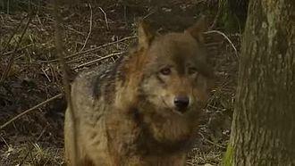Wolf Wikipedia
