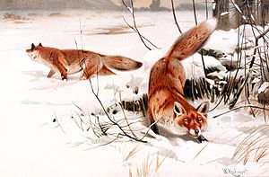 English: Common foxes in the snow. Français : ...