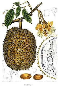 Durian, Durio zibethinus