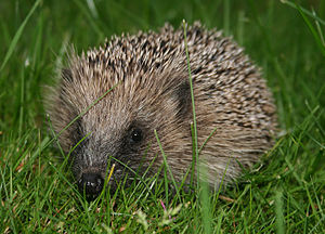 European hedgehog (Erinaceus_europaeus)