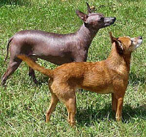 Hairless and Coated Xoloitzcuintles side by side.