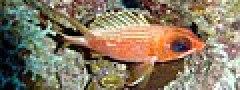Holocentrus rufus.jpg