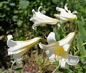 English: Lilium regale 'Album', Parc Floral de...