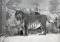 Gambar harimau Kaspia di Berlin Zoological Garden pada tahun 1899