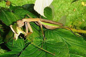 Praying Mantis, Teondera sp. (Tenodera aridifo...
