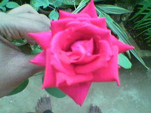English: The picture of a typical red rose whi...