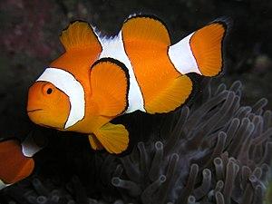 English: Amphiprion ocellaris (Clown anemonefi...