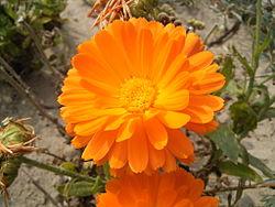 Calendula Officinalis Simple English Wikipedia The Free