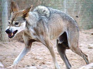 עברית: זאב מצוי מסמר את רעמתו