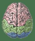 Cerebral lobes.png