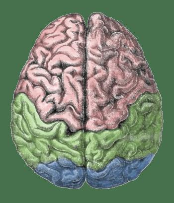 English: Human brain Polski: Mózg człowieka