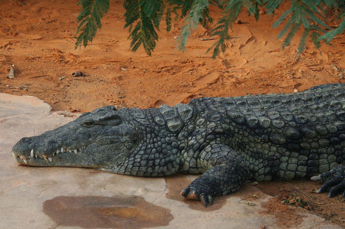 Gustave Crocodile Wikipdia