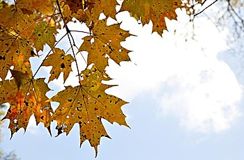 Leaves of mapple in autumn