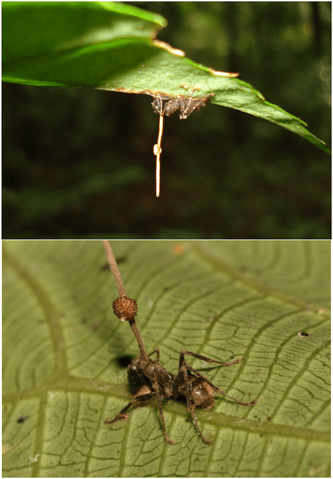 https://i2.wp.com/upload.wikimedia.org/wikipedia/commons/thumb/8/85/Ophiocordyceps_unilateralis.png/333px-Ophiocordyceps_unilateralis.png