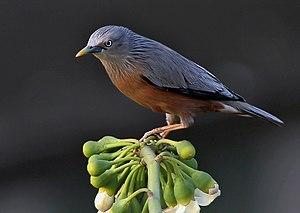 Chestnut-tailed Starling Sturnus malabaricus i...