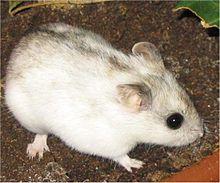 Hamster Tiongkok
