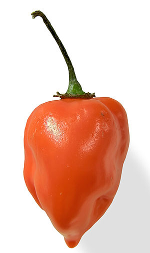 English: A close up of an orange Habanero chil...