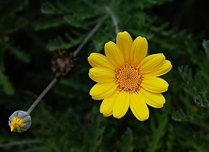 Fower and bud of yellow chamomile (Anthemis ti...