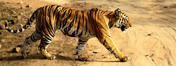 English: Tigress taken in Bandhavgarh National...