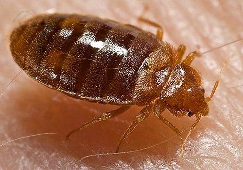 Bed bug, Cimex lectularius (click to embiggen)