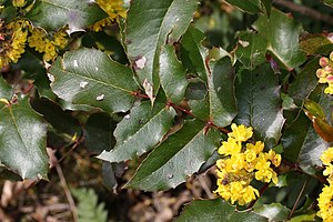 Holly-leaf Oregon-grape, Shining Oregongrape, ...