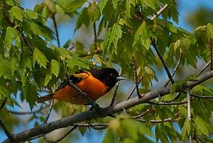 A male Baltimore Oriole in Brampton, Ontario, ...