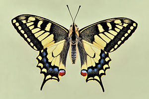 The Old World Swallowtail (Papilio machaon), i...