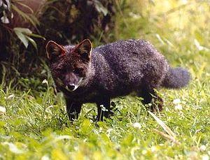 A male Darwin's fox in western coast of Chiloe...