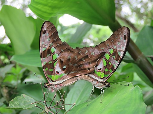 Graphium agamemnon - Tailed Jay mating at Ernakulam (12)