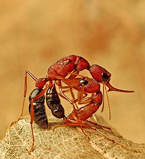 A worker Harpegnathos saltator (a jumping ant)...