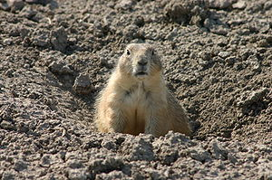 An alerted prairie dog sitting at the entrance...