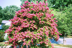 A large Lagerstroemia (crepe myrtle) grown to ...