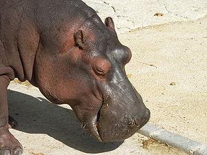 Gray hippopotamus at Lisbon zoo
