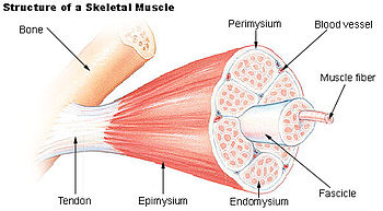 Muscle fascicle