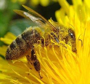 Pollination of Dandelion by a bee - it can see...