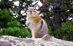 RMNP rodent