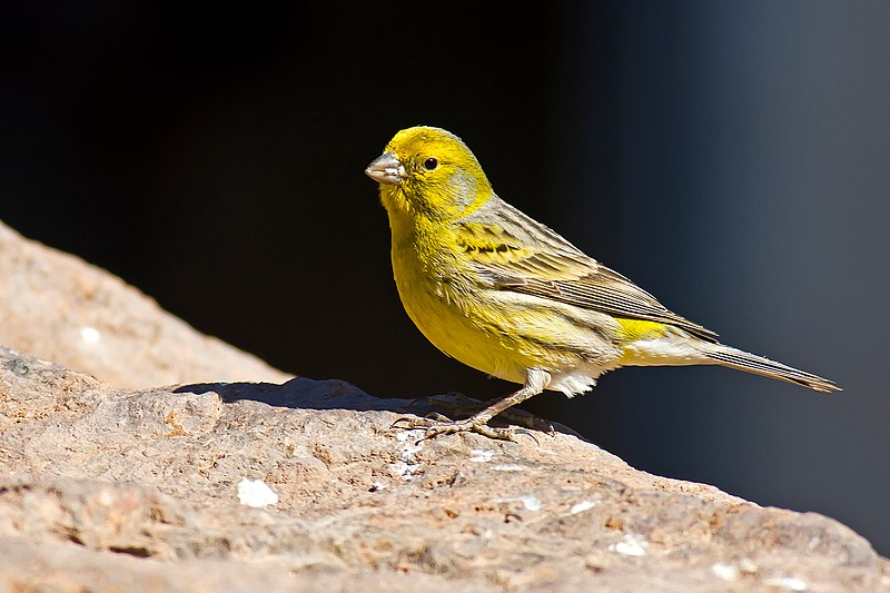 File:Serinus canaria -Parque Rural del Nublo, Gran Canaria, Spain -male-8a.jpg
