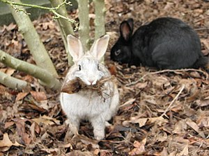 English: Rabbits on campus at the University o...