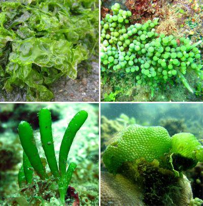 chlorophyte - Wiktionary