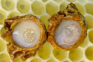 Queen larvae floating in Royal Jelly