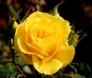 A Yellow Rose.