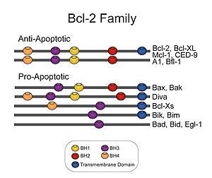 bcl 2 wikipédia